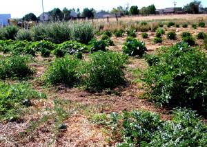 Lily's organic farm