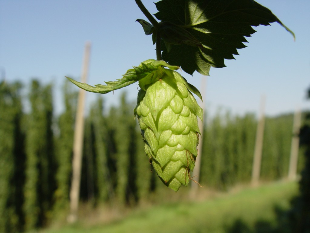 Benefits of Hops in Natural Skin Care