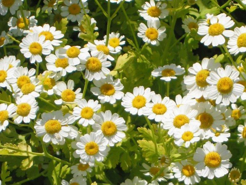 How Feverfew helps your skin