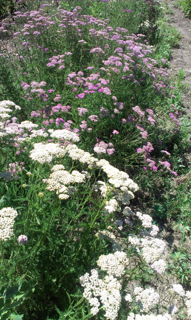 The Many Names of Yarrow - Lily Farm Fresh Skin Care