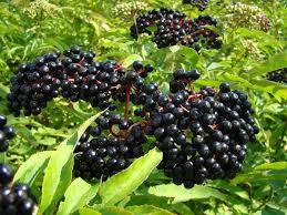 elderberry, a medicinal plant